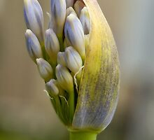 Agapanthus New Bloom by K D Graves Photography