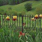 Explicit Bearded Irises (Supreme Sultan ) by Carol E. Davis
