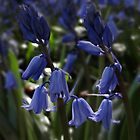 Bluebells by Mark.I.F. Jarvis