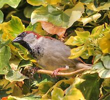 House sparrow (Passer domesticus) by larry flewers