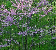 Redbud In My Yard by MotherNature