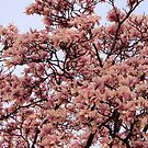 Vernal Magnolias by Daniel ML
