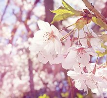 Sakura Cherry Blossom by afeimages