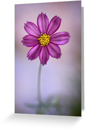 Champion Cosmos by Dianne English