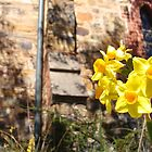 Jonquils by the bush church by artsieaspie