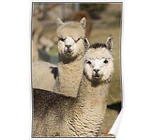 Alpaca at One Tree Hill Alpacas Poster