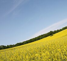 Rapeseed field by catalinpopro