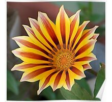 Single Flower Close Up Gazania Red Stripe Poster
