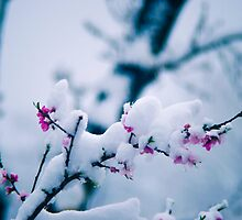 Snow On the Blossoms by Jake Kauffman