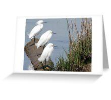 Snowy Egrets Greeting Card