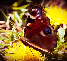 Red Admiral by Ralph Goldsmith