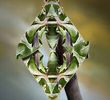Hawkmoths mating by jimmy hoffman
