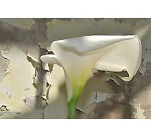 Arum Lilly 1  Photographic Print