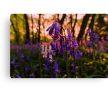 Sunset Bluebells Canvas Print
