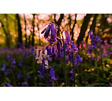 Sunset Bluebells Photographic Print