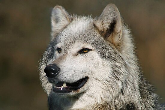 Grey Wolf by Mick Gosling