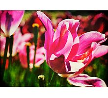 Field of Pink Photographic Print