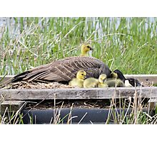 A Real Mother Goose Photographic Print
