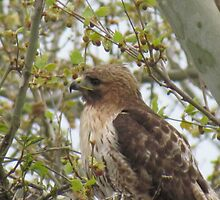 Red Tail Hawk by TouchingNature