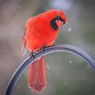 Cardinal Curiosity by Mikell Herrick