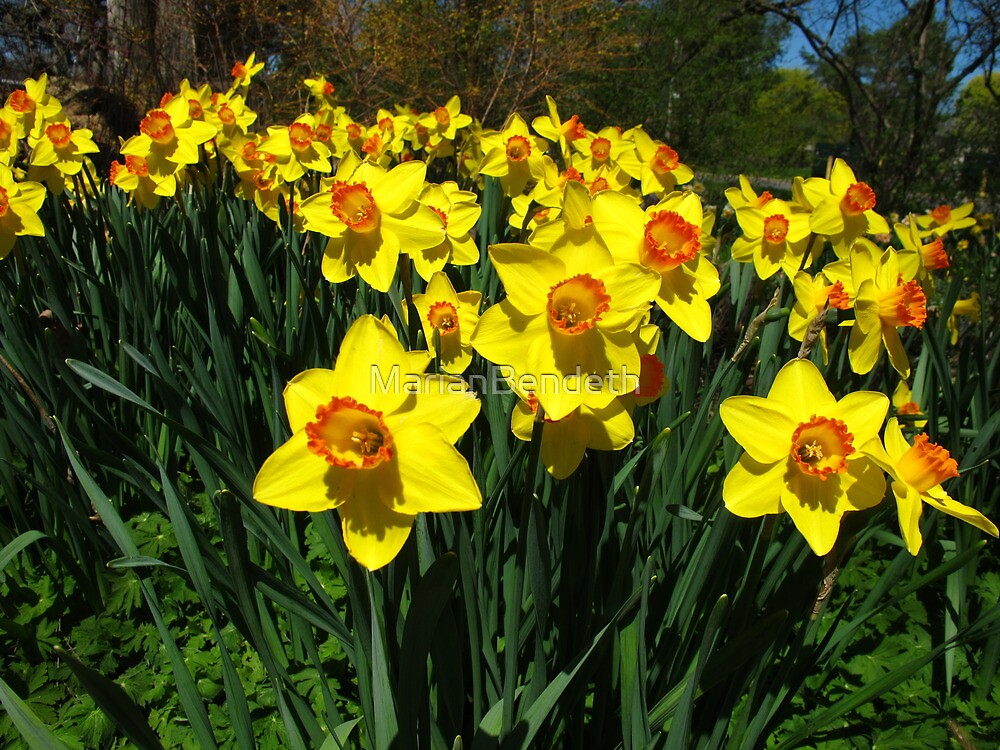 Singing Daff's in unison by MarianBendeth