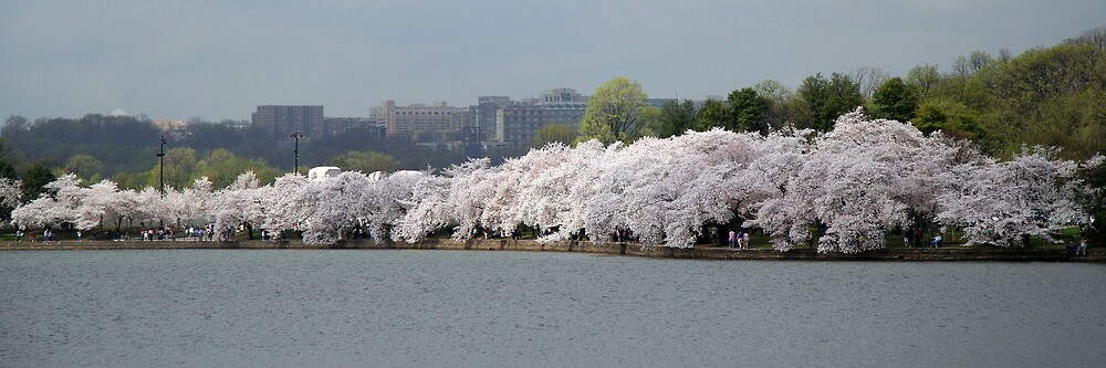 A Thin Line Of Cherry Blossom Trees by Cora Wandel