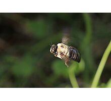 Carpenter Bee  Photographic Print
