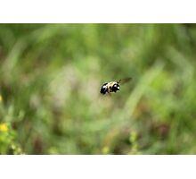 Carpenter Bee keeping watch. Photographic Print