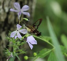 It's a bee, no a hummingbird, wait...a Moth? by Okeesworld