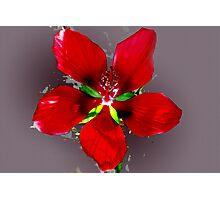 Swamp hibiscus Photographic Print