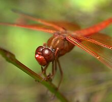 Flame Skimmer by Betsy  Seeton