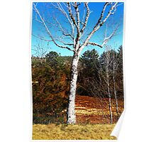 A Birch Tree Mid Day Poster