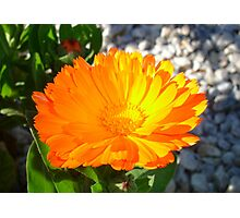 Bright Orange Marigold In Bright Sunlight Photographic Print