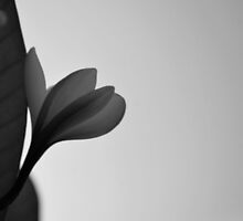 Black and white lone frangipani by Emily McAuliffe