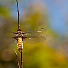 Yellow dragonfly by Csar Torres