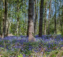 Bluebells in May by Paul Richards