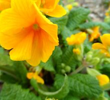 Yellow Primrose by kniferobin