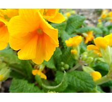 Yellow Primrose Photographic Print