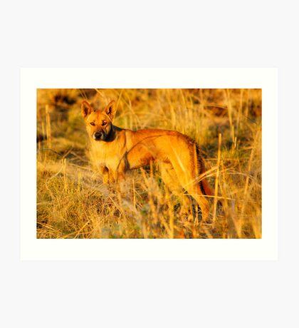Dingo (Canis lupus Dingo) Art Print