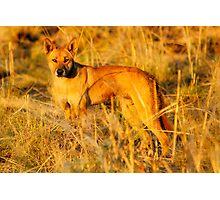 Dingo (Canis lupus Dingo) Photographic Print