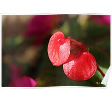 Begonia Beauty Poster