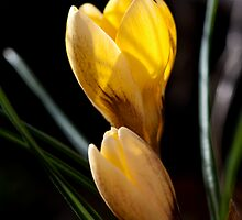 Crocus by Dreamflux Photography