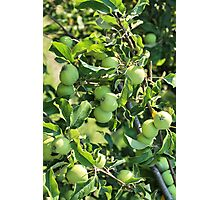 Apples on a branch Photographic Print