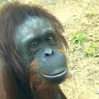 Orangutan by Steve Hunter