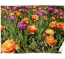 Terrific Tulips Poster
