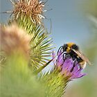 Bee on a thistle by Paulmayfield
