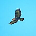 Common Buzzard by VoluntaryRanger