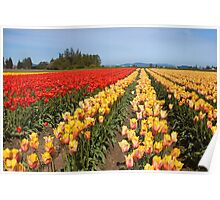 Skagit Valley Tulips Poster