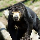 Malayan Sun Bear by rosepetal2012