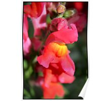 Red Snapdragons III Poster